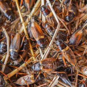 Insect farms to solve soaring global protein demand
