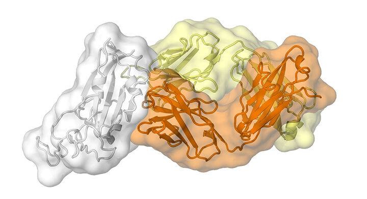 Scripps Research discovers new COVID-19 antibody known as CR3022