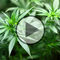 Cannabis in der Wahlarztpraxis - Video